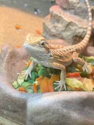Can I Leave Crickets With My Bearded Dragon Overnight?