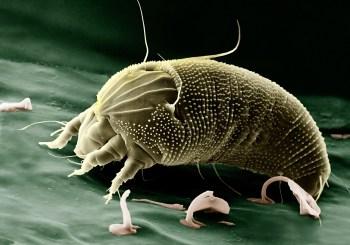 mites in springtail culture