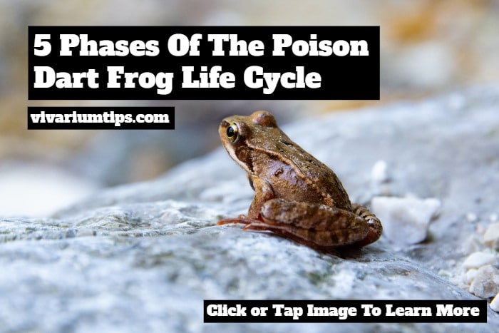 poison dart frog life cycle