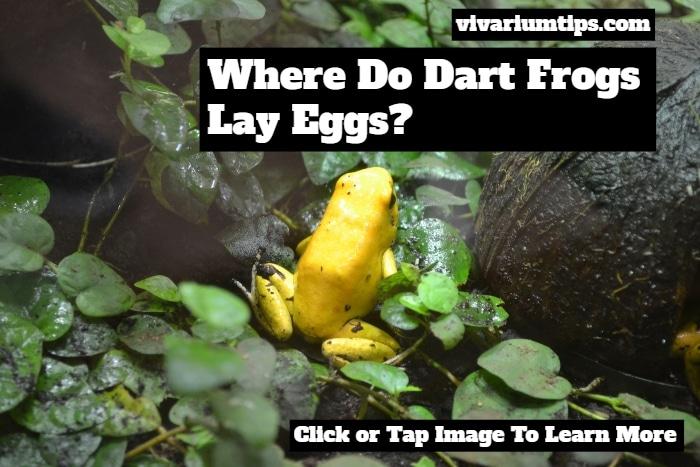 where do dart frogs lay eggs