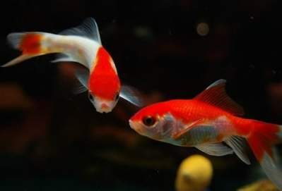 what can goldfish eat at home