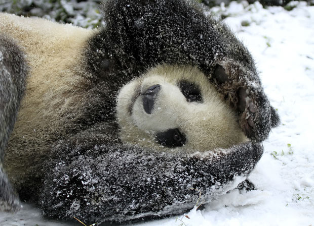 But seriously. Look at this panda.