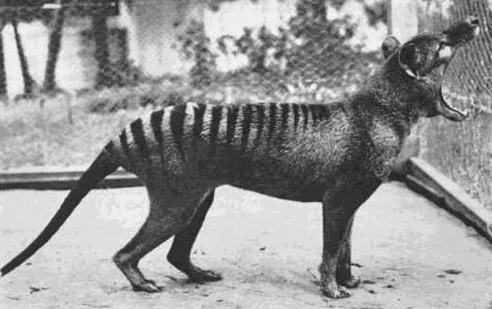 The last known Tasmanian Tiger photographed in 1933. The species is now extinct.