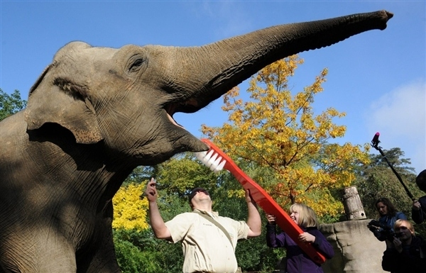 A elephant getting its teeth brushed