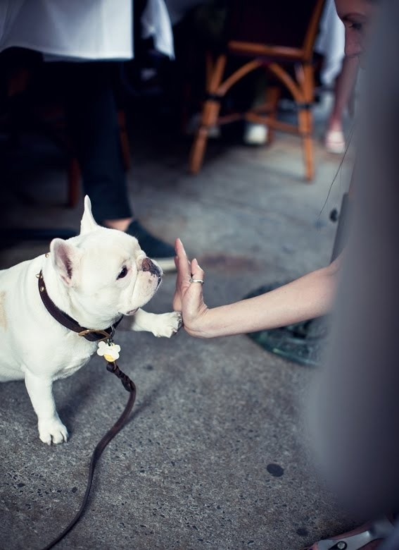 A frenchie high-five