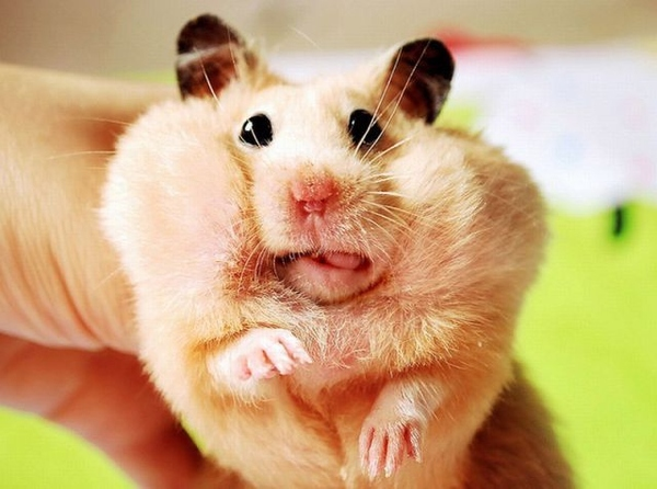 This silly hamster