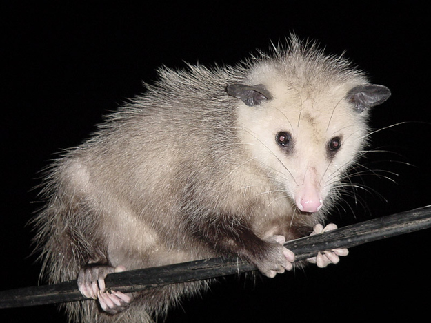Gymnast Possum