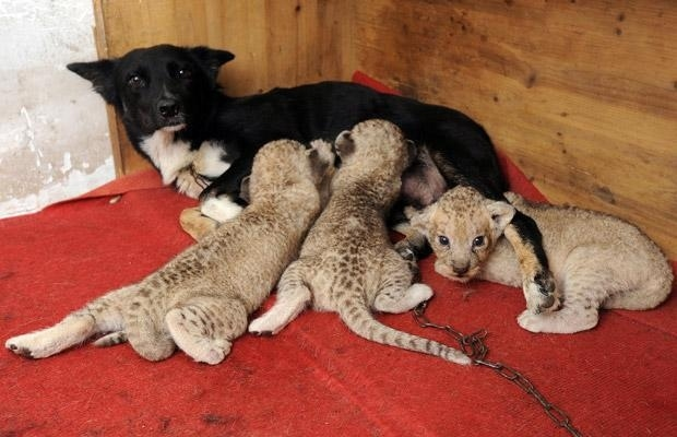 Dog nursing Lion Cubs