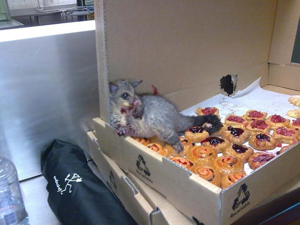 And the time an opossum broke into a bakery and ate so many danishes that he couldn't leave.