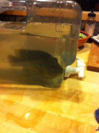 A fish found in Pamcake's backyard .