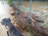 Debris from the stream washed against the fence.