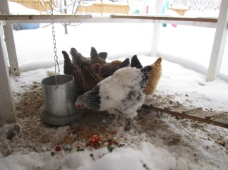 They will come out to eat, but otherwise they are staying inside the coop.