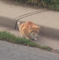 "This orange cat is so badass. I walked right by him with Blue and he was all, ""What? I ain't moving for you."""