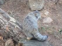 A Pallas cat, my new favorite