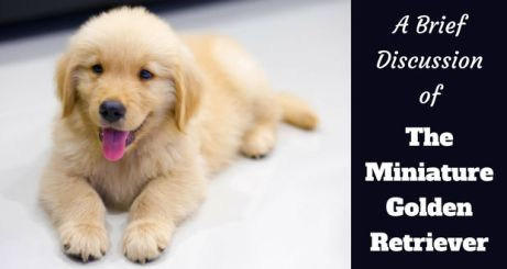 The-Miniature-Golden-Retriever.jpg