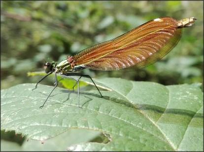 Libelula insecto macro