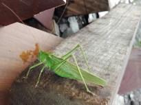 Saltamontes insecto macro