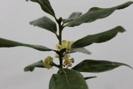 Louro (Laurus nobilis)