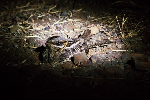 Indian Nightjar
