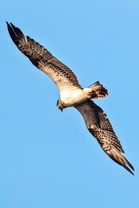 Osprey has a wingspan of 6 feet!