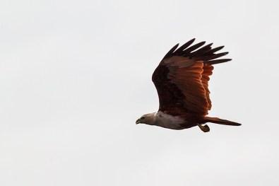 Flight of Brahminy Kite