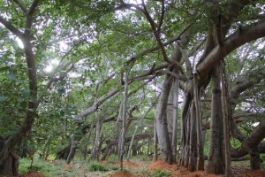 Banyan Tree w