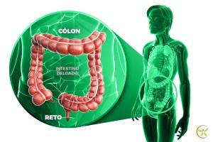 Ilustração de intestino