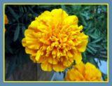 wpid-160px-Marigolds-9220-2013-06-28-18-07.jpg