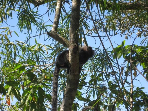 Monkey on top of Sugarloaf