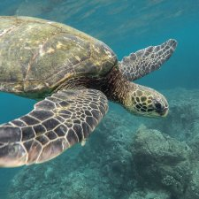 Nager avec les tortues à Tulum Akumal