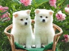 400_1208212743_perros-blancos