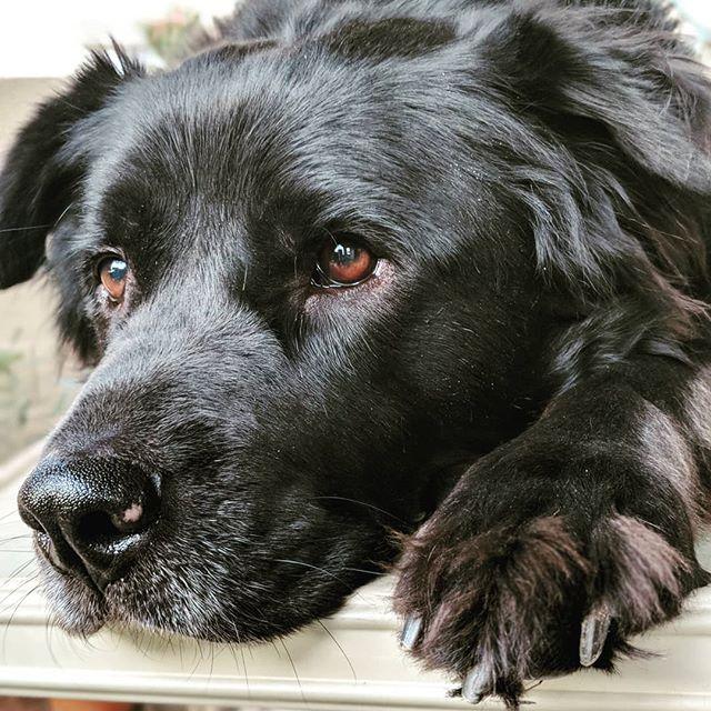 I love his paws.  #chowchow #chowtriever #retriever #flatcoatedretriever #muttsofinstagram #mutt #shelterdogsofinstagram #shelterdog #rescuedogsofinstagram #rescuedog #petphotography #pet #doggo #dog #pixel2portrait #pixel2xlphotography