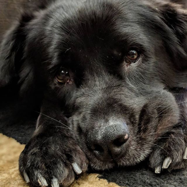 I'm like a little bear.  #chowtriever #chowchow #flatcoatedretriever #retriever #doggo #dogsofinstagram #mutt #muttsofinstagram #shelterdogsofinstagram #shelterdog #rescuedog #rescuedogsofinstagram #dog #petphotography #petsofinstagram #pixel2portrait #pixel2xlphotography #pet #fluffy #floof #fluffy