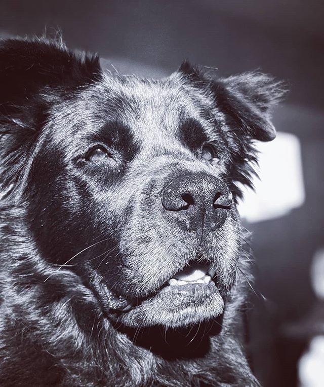 I'm like a lion.  #chowtriever #chowchow #flatcoatedretriever #retriever #doggo #dogsofinstagram #mutt #muttsofinstagram #shelterdogsofinstagram #shelterdog #rescuedog #rescuedogsofinstagram #dog #petphotography #petsofinstagram #pixel2portrait #pixel2xlphotography #pet #fluffy #floof #fluffy