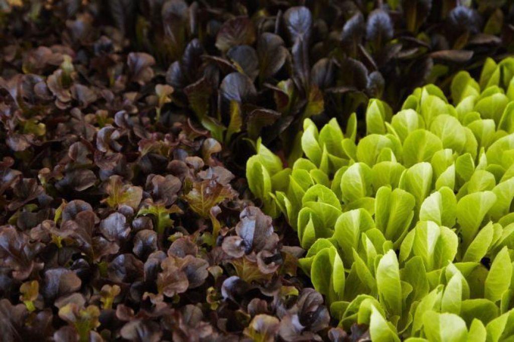 Florette produce 26.500 Tn de lechugas adultas y 3.500 Tn de primeros brotes tiernos.