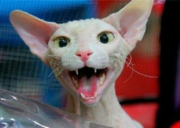 sphynx_cats_3x1