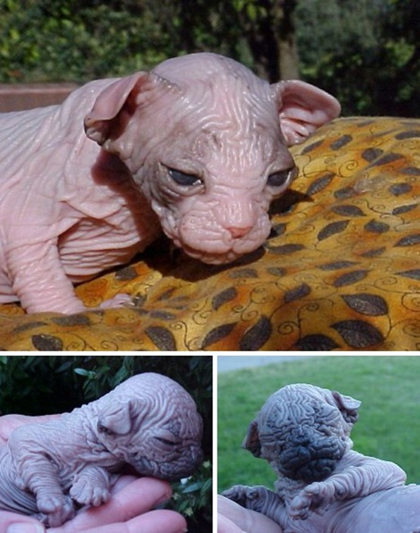 sphynx_cats_4a