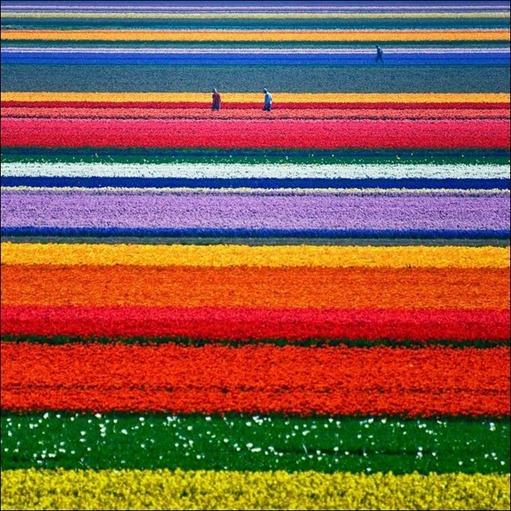 tulip-fields14