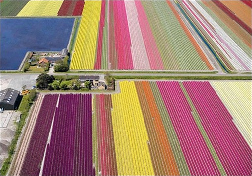 tulip-fields30