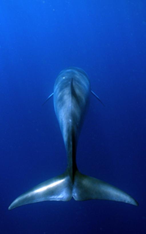 fin_whale_350_tcm28-1392