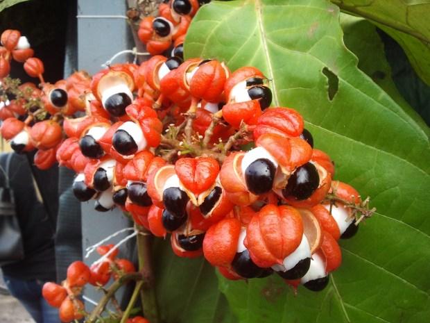 O Fruto do guaraná
