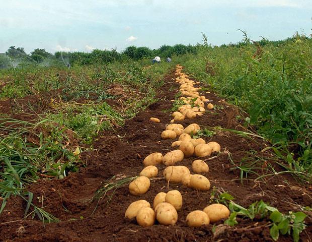 Plantacao-organica-batatas.jpg