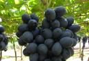 Cerrado do Tocantins produz uvas mais doces que outras regiões do Sul do país