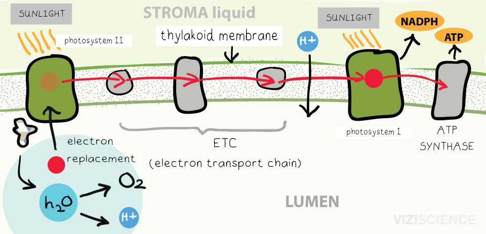 light reactions photosystem diagram 1964 ford fairlane 500 wiring photosynthesis the dependent stage and calvin cycle 1 i ii