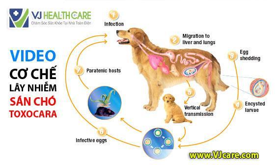 Bệnh sán chó lây nhiễm như thế nào ?  Chăm sóc sức khỏe tại nhà chuyên nghiệp 💖 VJ Health Care s  n ch   l  y nhi   m qua        ng g   video s  n ch   l  y nhi   m ASIA Health