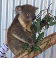 kiwlp-koala