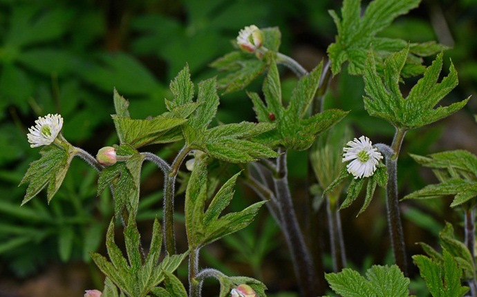 how to treat hpv - goldenseal