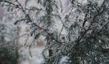 елки, зима