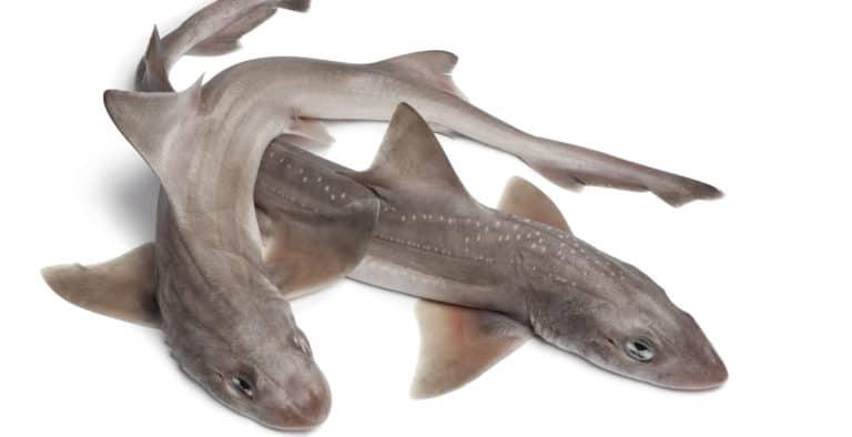 паломбо или кунья акула