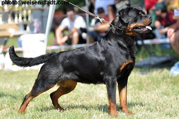 Rottweiler female Prissy vom Keiser Wappen